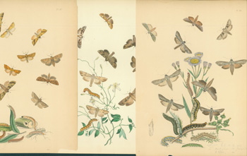 Printed Color Plates of Moths.