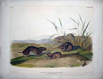 Yellow Cheeked Meadow Mouse - Plate 115(CXV) from The Viviparous Quadrupeds of North America. First Imperial Folio edition. John James Audubon.