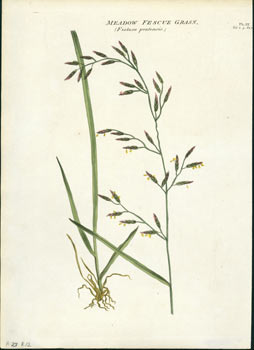 Meadow Fescue Grass (Festuca pratensis). R. W. Dickson, William Salisbury.
