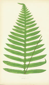 Polypodium Latipes, XXXIX - Vol. 2. Chromolithograph. Edward Joseph Lowe.