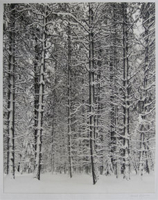 Pine Forest in Snow. Also called: Trees and Snow. Ansel Adams