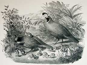 A Family of California Quail. Anonymous California Artist