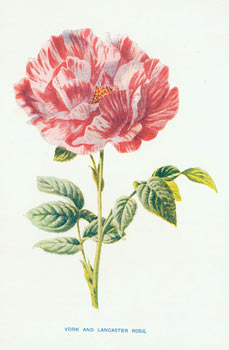 York And Lancaster Rose. Edward J. Lowe