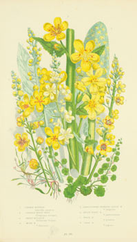 Common Mudwort, Cornish Money Wort, Great Mullein, Moth Mullein, Large Flowered Primrose Leaved,...