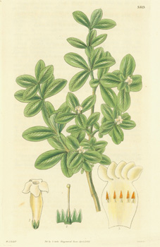 Alyxia Daphnoides. Daphne-like Alyxia. Engraving # 3313 from Curtis's Botanical Magazine. William...