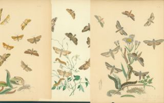 Printed Color Plates of Moths