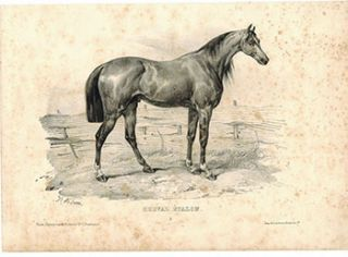 Cheval Etalon. (Stallion). Victor Adam