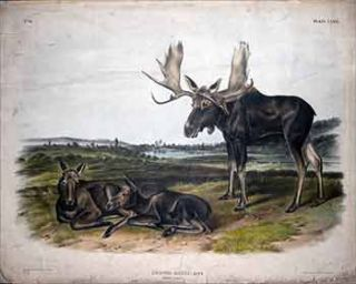 Moose Deer - Plate 76 (LXXVI) from The Viviparous Quadrupeds of North America. First Imperial...