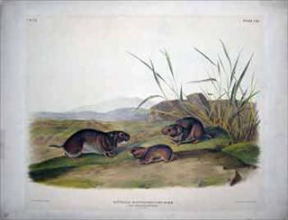 Yellow Cheeked Meadow Mouse - Plate 115(CXV) from The Viviparous Quadrupeds of North America....