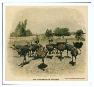 Eine Strauchenfarm in Kalifornien (An Ostrich Farm in California). Anonymous photographer