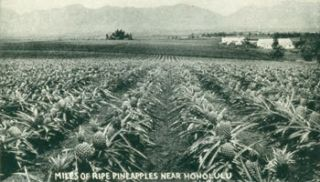 Miles Of Ripe Pineapples Near Honolulu. 20th Century American Photographer
