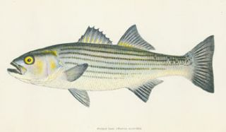 Progress Report on Studies of Striped Bass Reproduction in Relation to the Central Valley...