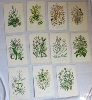 Botanical Plates from The Flowering Plants, Grasses, Sedges and Ferns of Great Britain. Anne Pratt